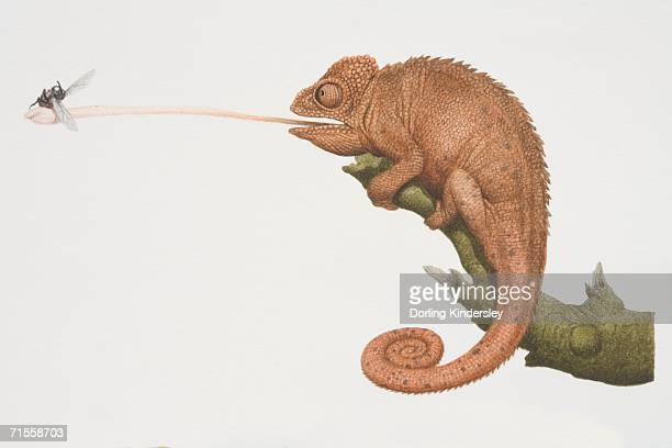 furcifer oustaleti, oustalet's chameleon perched on a tree branch catching a fly by extending out its tongue. - chameleon stock illustrations, clip art, cartoons, & icons