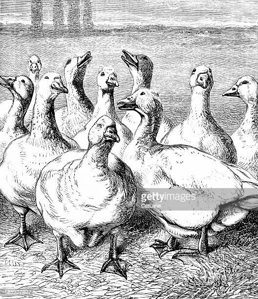gaggle of geese - victorian illustration - goose bird stock illustrations