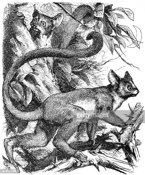 Galago (Otolicnus galago)