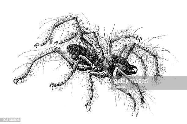 Galeodes spider (Solpuga aranoides)