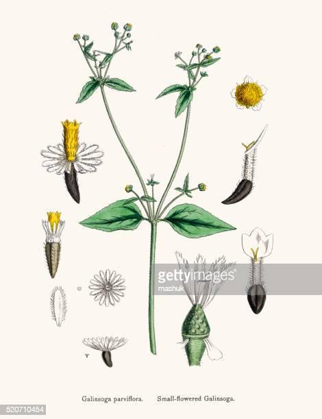 Galinsoga flower 19th century illustration