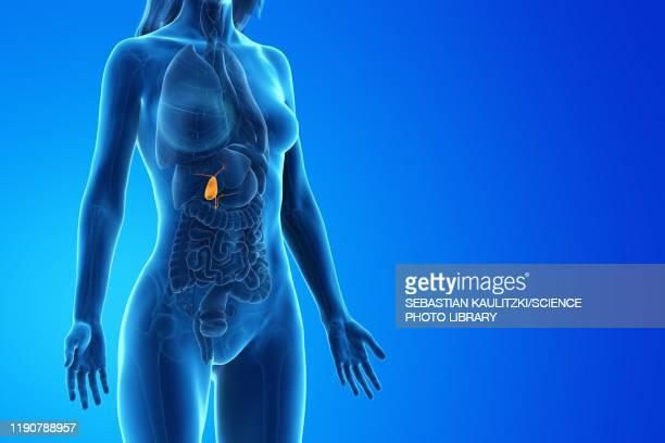 gallbladder, illustration - bladder stock illustrations