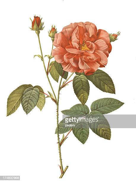 rosa gallica officinalis - rose flower stock illustrations, clip art, cartoons, & icons