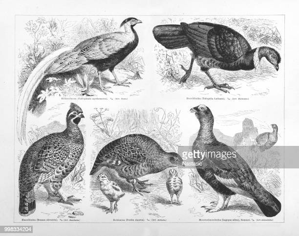 galliformes - quail bird stock illustrations, clip art, cartoons, & icons
