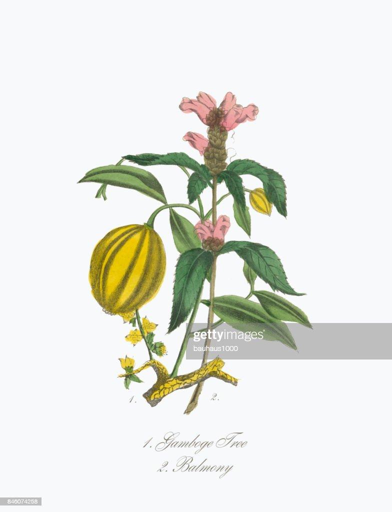 Gamboge Tree And Balmony Victorian Botanical Illustration