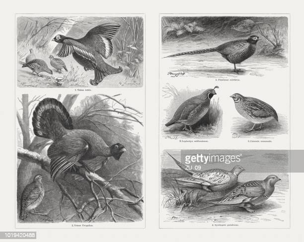 game birds, wood engravings, published in 1897 - quail bird stock illustrations, clip art, cartoons, & icons