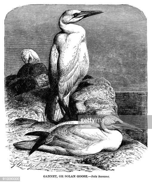 gannets - gannet stock illustrations