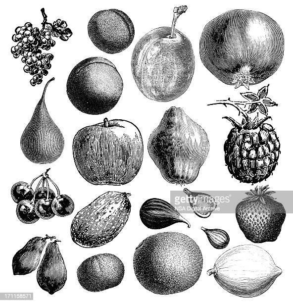 garden fruit illsutrations | antique farming food clipart - english culture stock illustrations