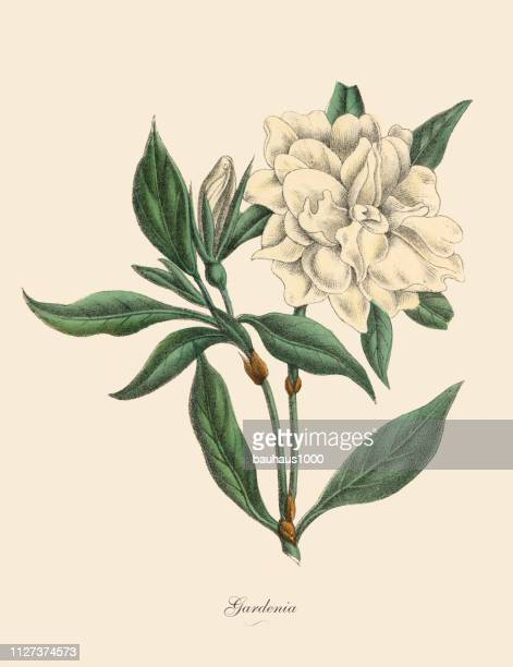 gardenia plant, victorian botanical illustration - botany stock illustrations