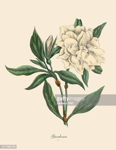 gardenia plant, victorian botanical illustration - lithograph stock illustrations