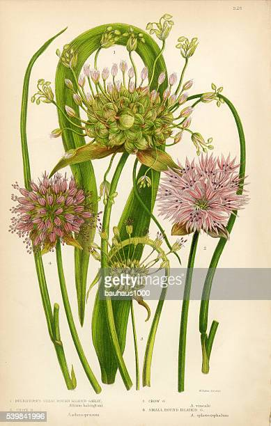 garlic, allium, chive,victorian botanical illustration - wildflower stock illustrations, clip art, cartoons, & icons