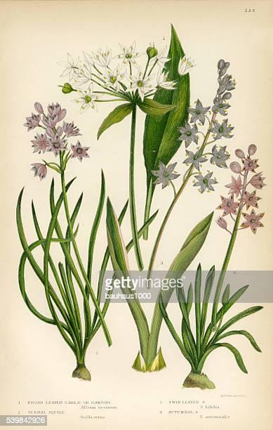 ニンニク、squill 、シラー、allium 、チャイブ、オニオンビクトリア植物イラストレーション - 19世紀点のイラスト素材/クリップアート素材/マンガ素材/アイコン素材