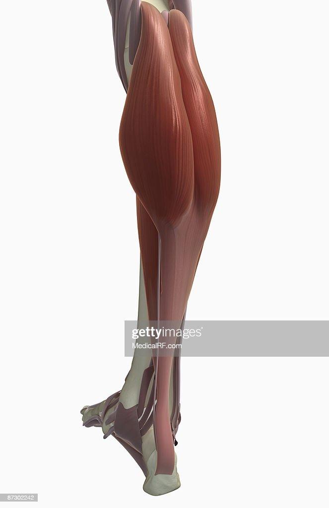 Gastrocnemius muscle : Stock Illustration