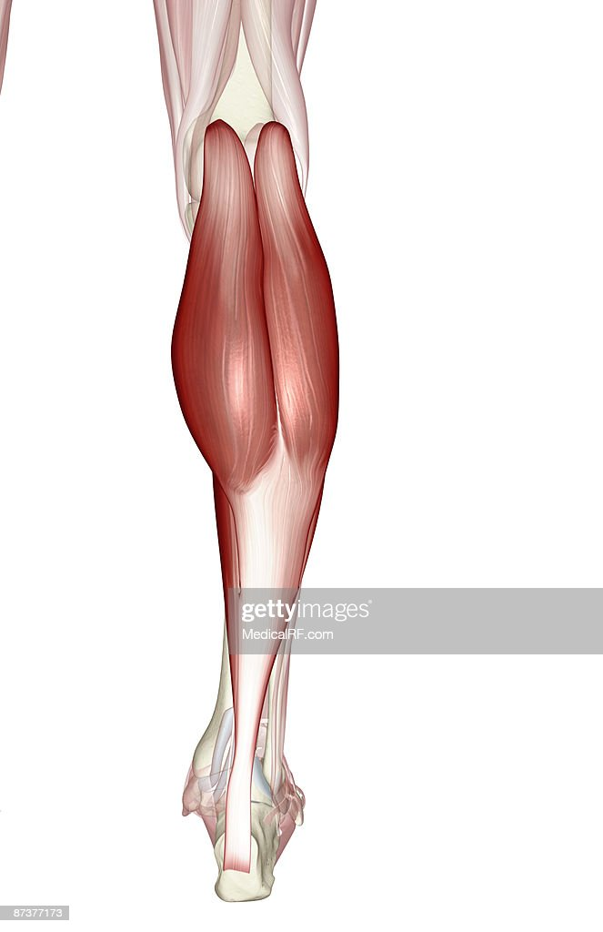 Gastrocnemius Muscle Stock Illustration Getty Images