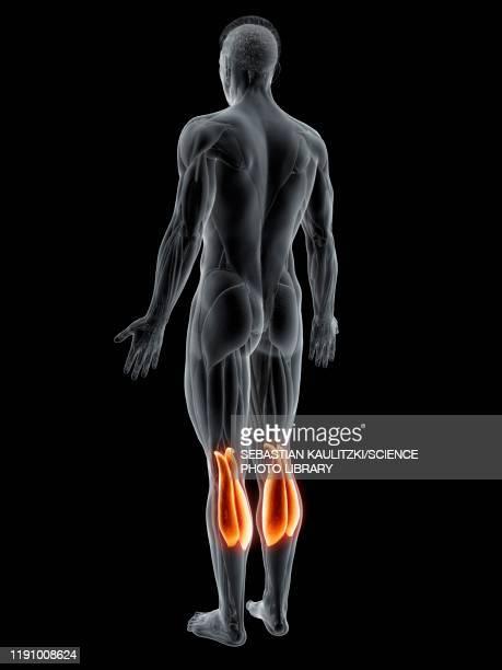 gastrocnemius muscle, illustration - 人の背中点のイラスト素材/クリップアート素材/マンガ素材/アイコン素材