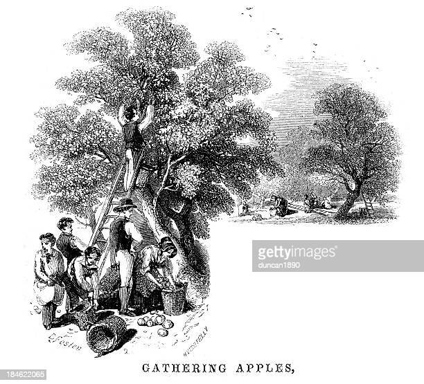 Gathering apples in the orchard