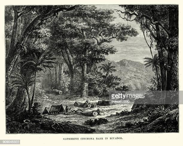gathering cinchona bark, ecuador, 19th century - tree bark stock illustrations, clip art, cartoons, & icons