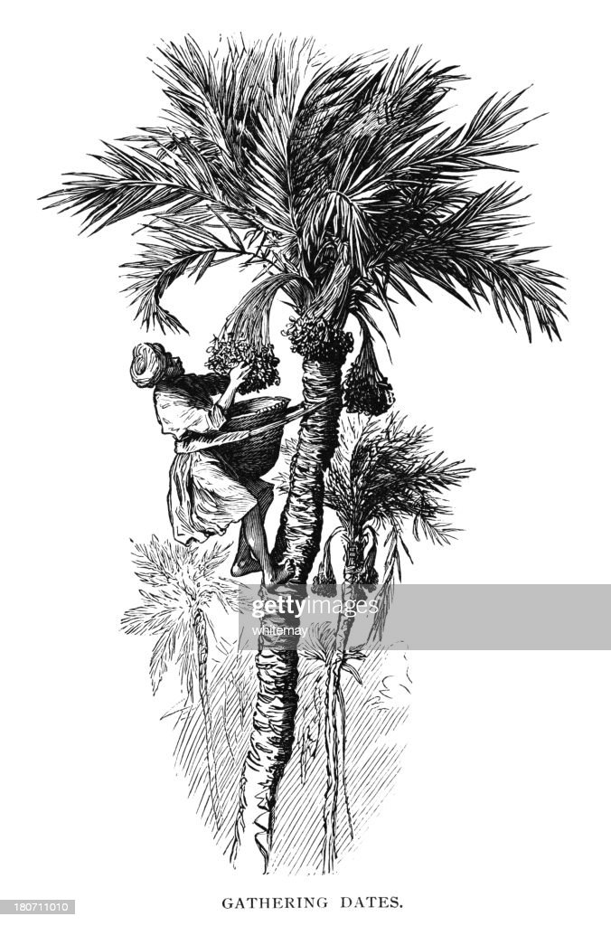 Gathering dates in North Africa : stock illustration