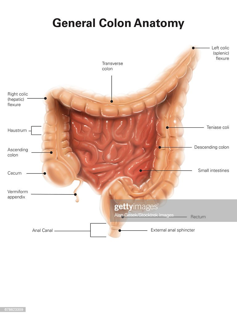 General Colon Anatomy With Labels Stock Illustration | Getty Images