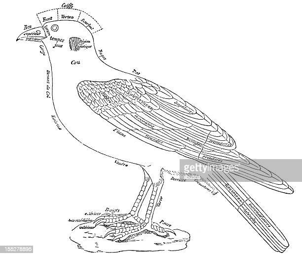 ilustrações, clipart, desenhos animados e ícones de pássaro genérico anatomia - zoologia
