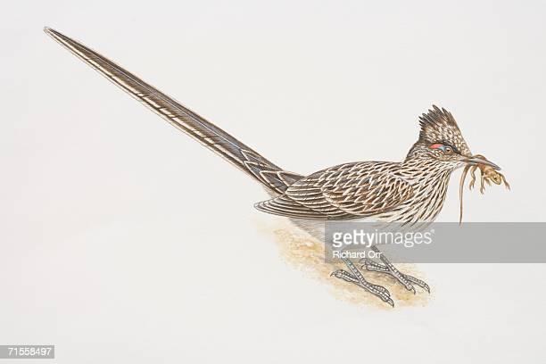 ilustraciones, imágenes clip art, dibujos animados e iconos de stock de geococcyx californianus, greater roadrunner holding a lizard in its beak, side view. - correcaminos