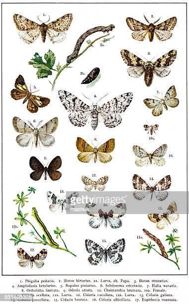 Geometer Moths of Europe