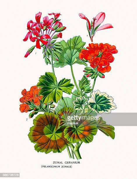 bildbanksillustrationer, clip art samt tecknat material och ikoner med geranium flower - midsommarblomster