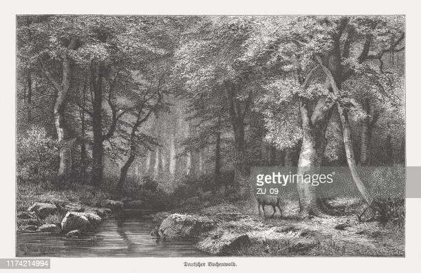 german beech forest, wood engraving, published in 1894 - beech tree stock illustrations