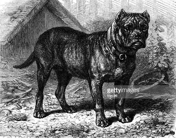 German Bulldog