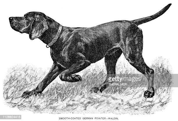 german pointer dog engraving 1891 - pointer dog stock illustrations