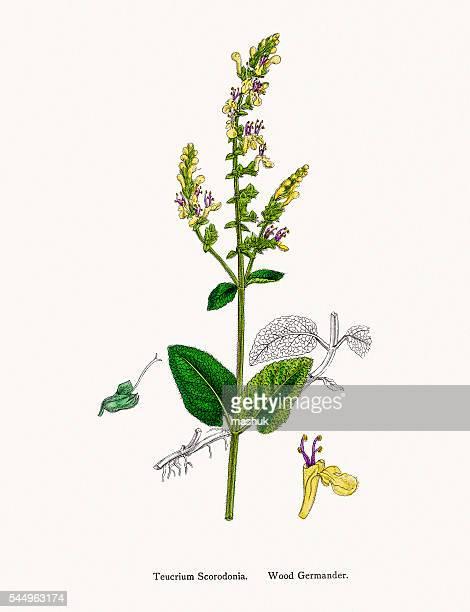 germander flower plant - dubrovnik stock illustrations, clip art, cartoons, & icons