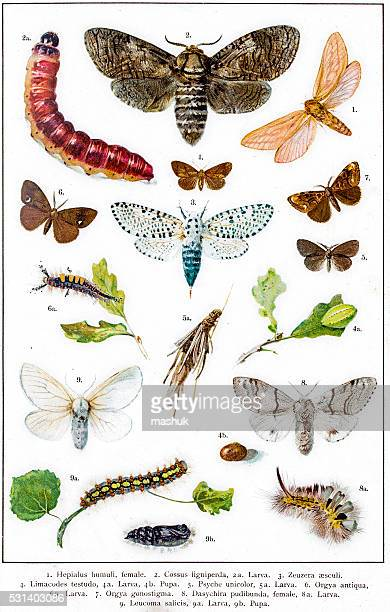 ilustrações, clipart, desenhos animados e ícones de hepialus humuli - zoologia