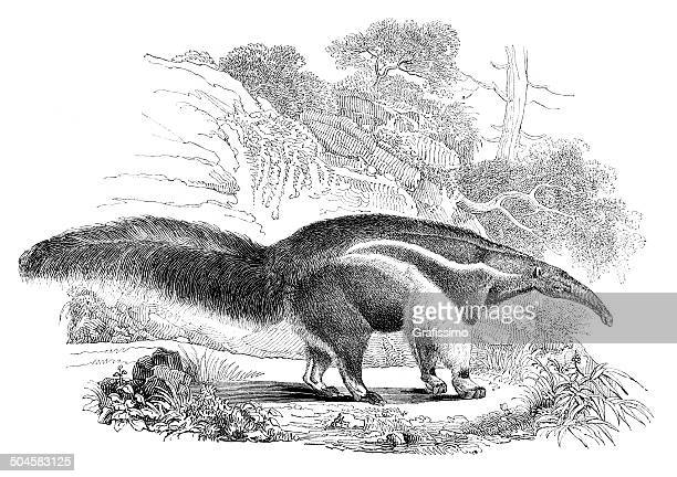 giant anteater drawing from 1844 - anteater stock illustrations