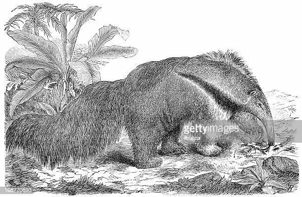giant anteater (myrmecophaga tridactyla) - giant anteater stock illustrations