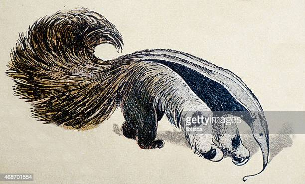 giant anteater, mammals animals antique illustration - anteater stock illustrations
