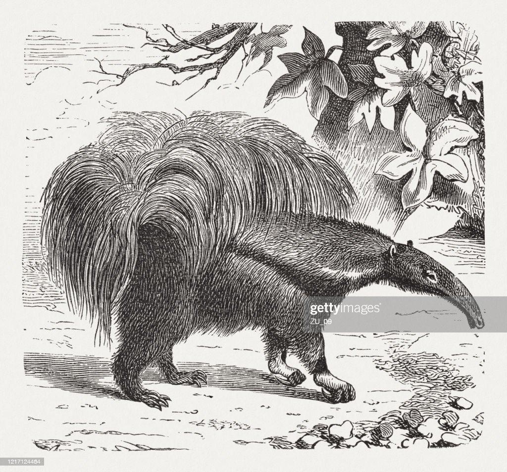 Giant anteater (Myrmecophaga tridactyla), wood engraving, published in 1893 : stock illustration