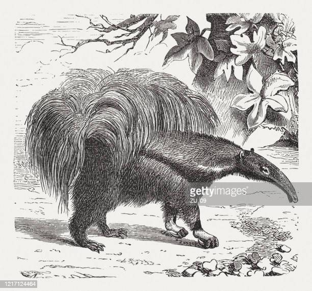 giant anteater (myrmecophaga tridactyla), wood engraving, published in 1893 - giant anteater stock illustrations