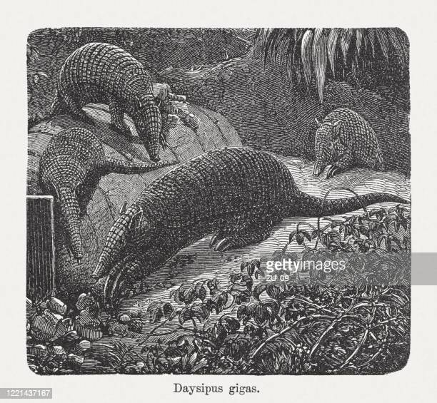 giant armadillo (priodontes maximus), wood engraving, published in 1893 - armadillo stock illustrations