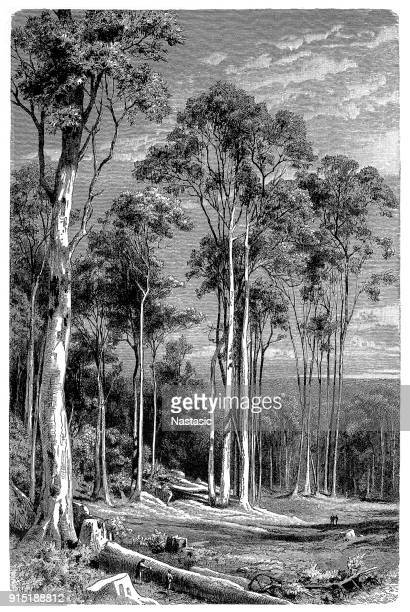giant eucalyptus tree woodcutter - giant stock illustrations, clip art, cartoons, & icons