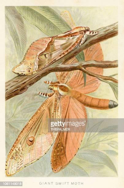 Giant moth chromolithograph 1896