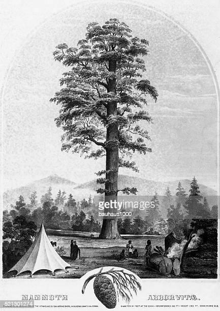 ilustrações, clipart, desenhos animados e ícones de gigante sequoia, mamute arbor vitae, circa1853 - animais em extinção