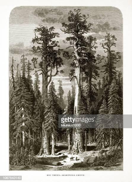 Secuoyas gigantes en Mariposa Grove, Valle de Yosemite, Yosemite Parque Nacional, Sierra Nevada, California, American grabado victoriano, 1872