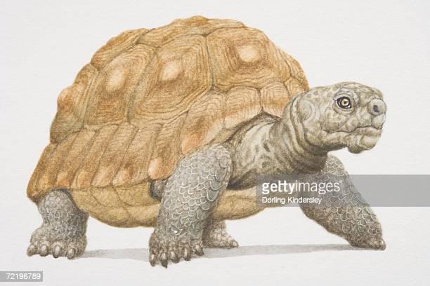 Giant tortoise (Geochelone gigantea) with hard brown shell.