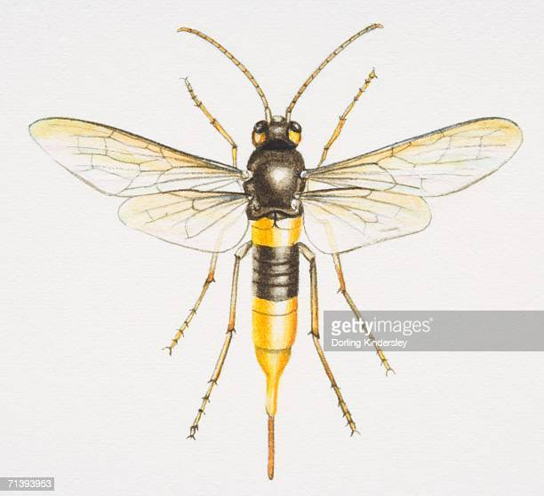 giant wood wasp, urocerus gigas, front view. - wasp stock illustrations, clip art, cartoons, & icons