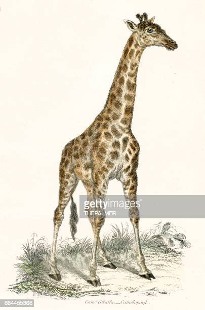illustrations, cliparts, dessins animés et icônes de girafe gravure 1803 - girafe
