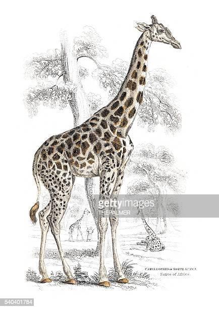 illustrations, cliparts, dessins animés et icônes de girafe gravure 1855 - girafe