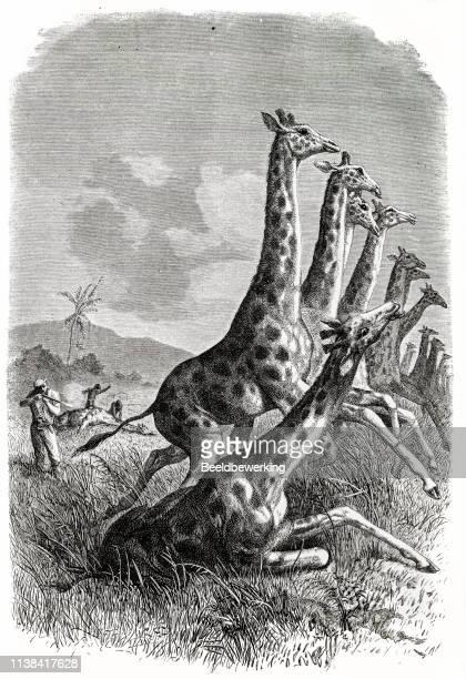 Giraffe hunt in Africa
