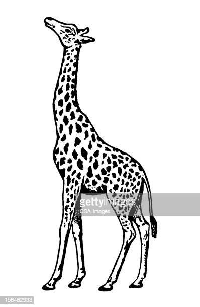 giraffe - one animal stock illustrations