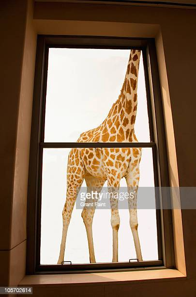 giraffe outside window. - tall high stock illustrations