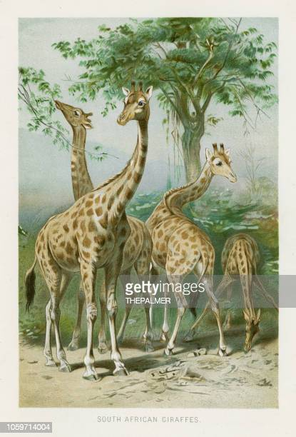 giraffes chromolithograph 1896 - lithograph stock illustrations